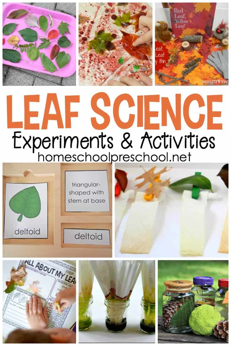 As the leaves begin to change colors this autumn, it's a great time to explore leaves with these engaging leaf-themed science activities for preschoolers.