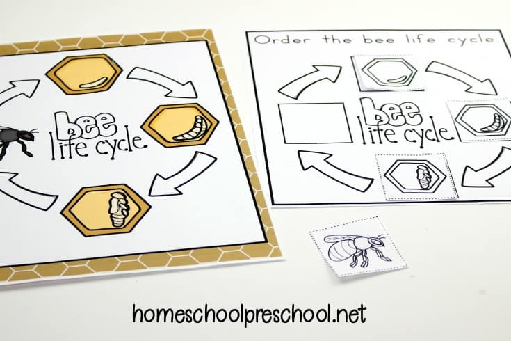 It's so much fun to learn about bees with these worksheets that teach the life cycle of a honey bee for kids. Perfect for spring and summer learning!