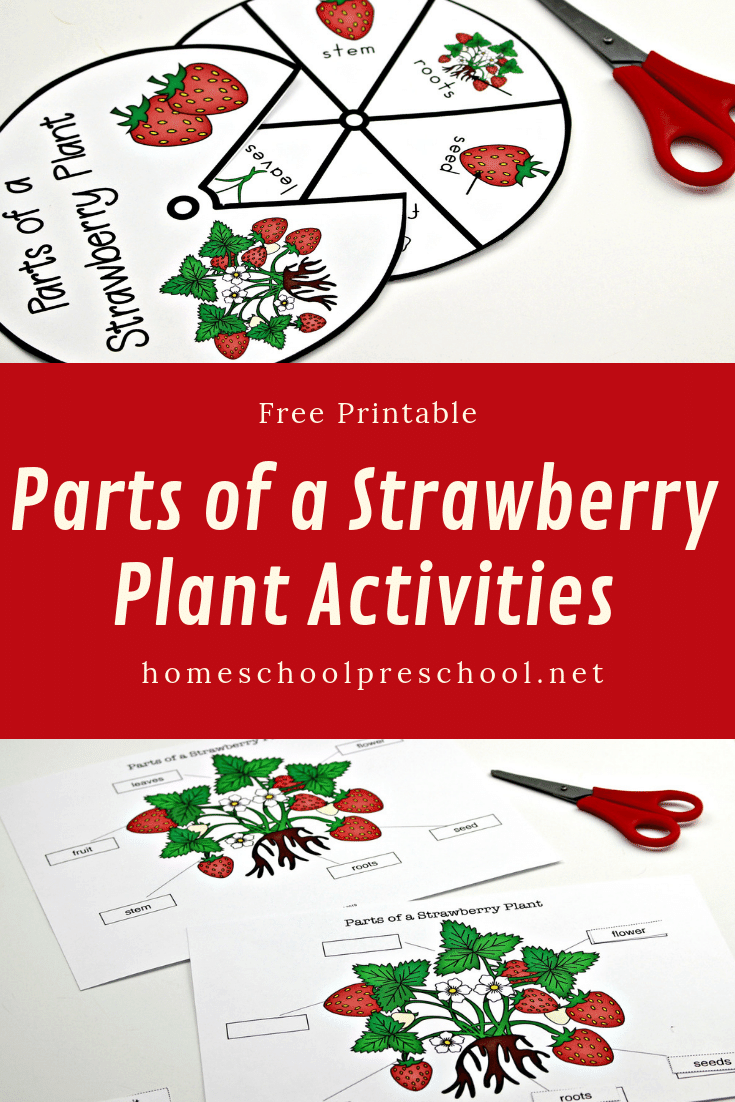 This summer, teach your kids about strawberries with this parts of a strawberry plant worksheet pack. It includes two printable activities!