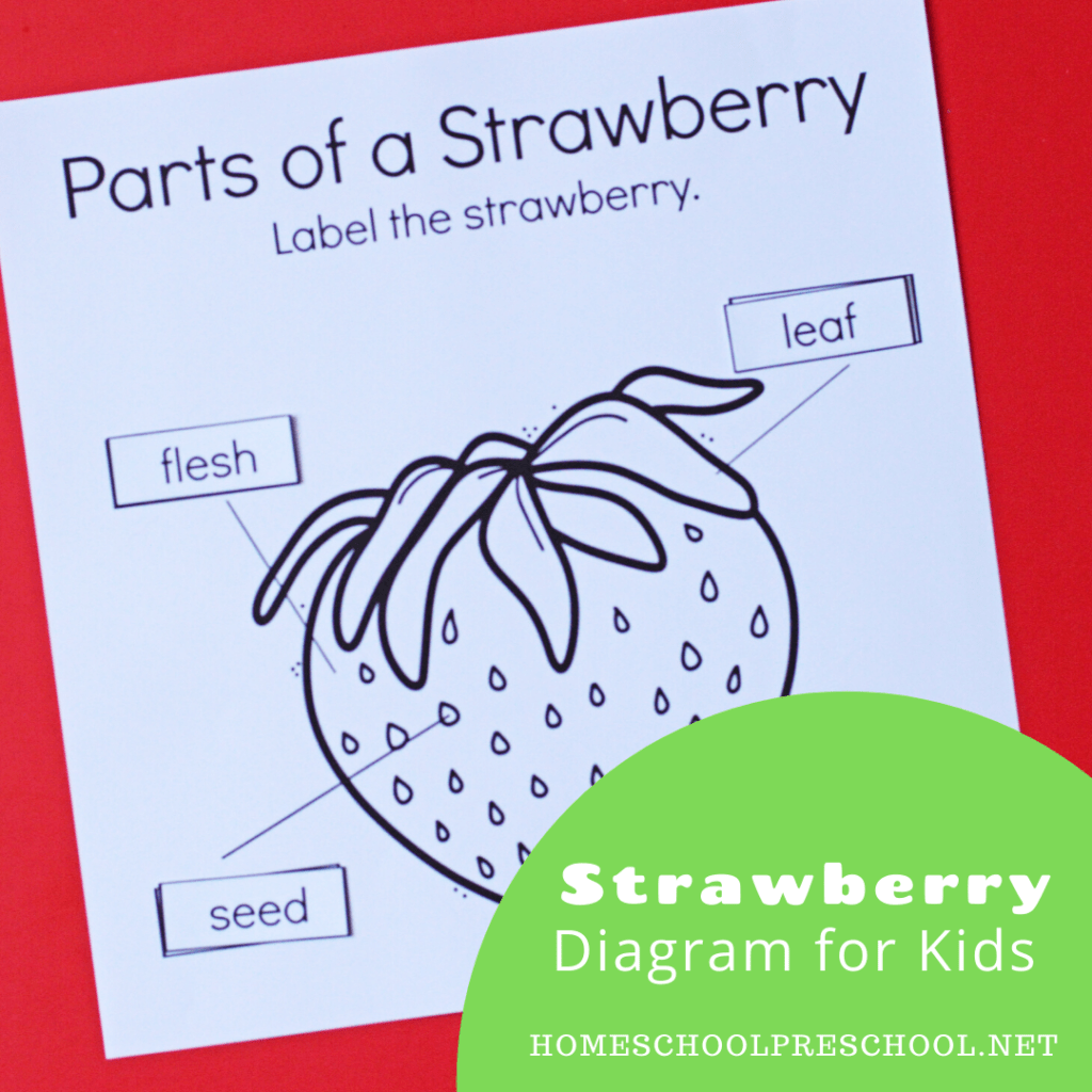 Download and print this parts of a strawberry worksheet! It's perfect for your plant and/or summer themed lesson plans for preschoolers.