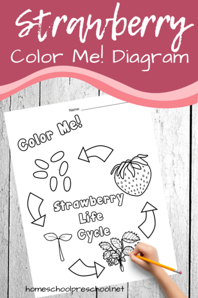 This summer, teach your kids about the life cycle of a strawberry. This strawberry life cycle diagram is a great visual aid for preschoolers.
